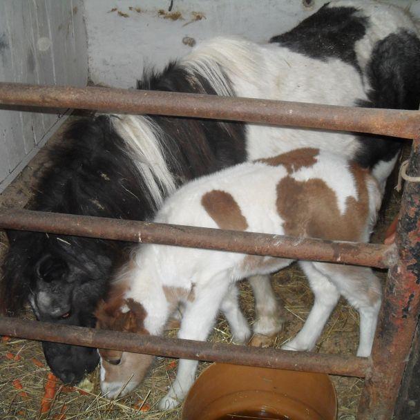 Kŕmenie koníkov